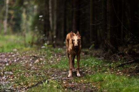 Red puppy of borzoi walks outdoor at summer day, russian sighthound, 6 months