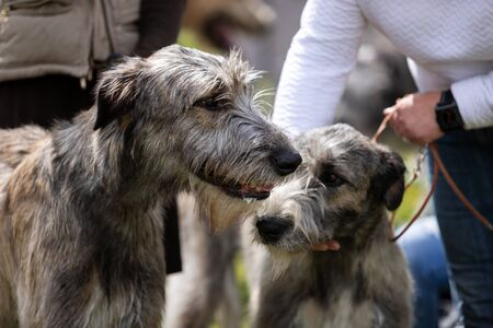 Irish wolfhounds outdoor on dog show at summer, sighthound championship Stock Photo
