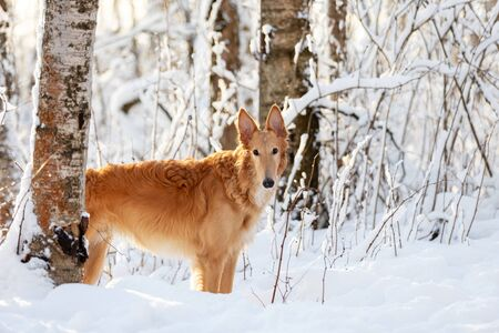 Red puppy of borzoi walks outdoor at winter day, russian sighthound, eight months Stock Photo