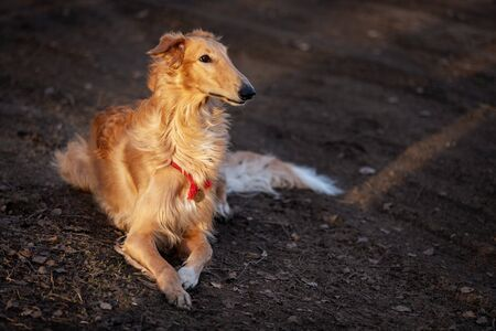 Red puppy of borzoi walks outdoor at summer day, russian sighthound, one year old Stock Photo