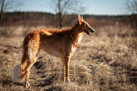 Red puppy of borzoi walks outdoor at spring day, russian sighthound, eleven months old Stock Photo