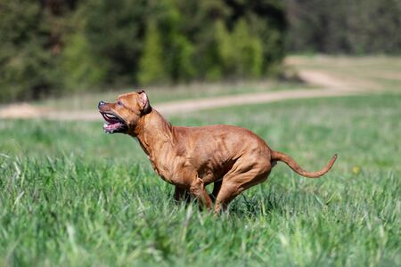 Red american pitbullterrier walks outdoor at summer day, pitbull
