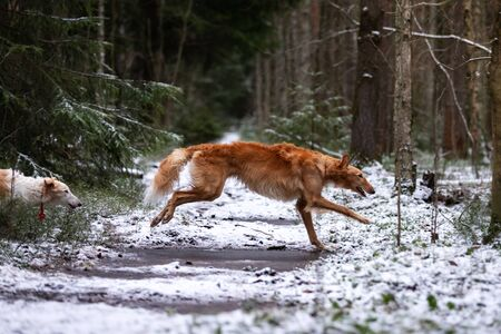 Red puppy of borzoi walks outdoor at winter day, russian sighthound, nine months old