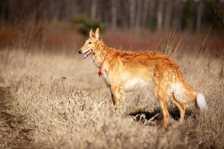 Red puppy of borzoi walks outdoor at spring day, russian sighthound, eleven months old Foto de archivo