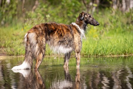 Brindle dog borzoi walks outdoor at summer day, russian sighthound, one year old