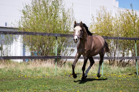 One gray horse galloping on the pasture at summer