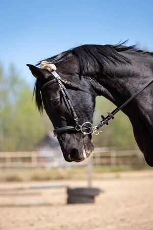 Beautiful head of a horse on manege at summer