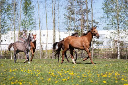 Herd of horses galloping on the pasture at summer
