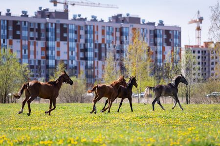 Herd of horses galloping on the pasture at summer and house on background Foto de archivo