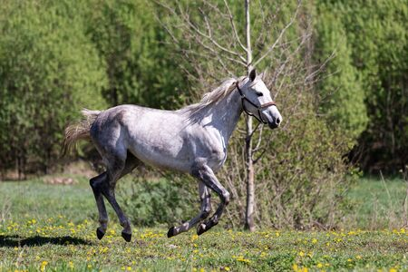 One white horse galloping on the pasture at summer