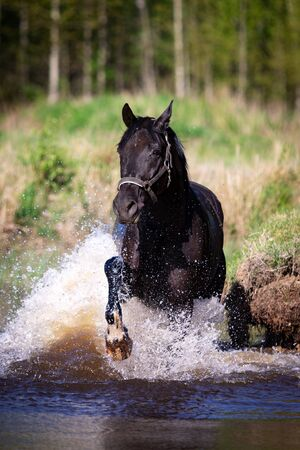 Beautiful horse bathes in pond at summer, orlov trotter