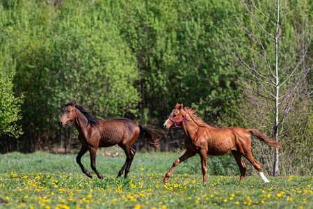 One red horse galloping on the pasture at summer Foto de archivo