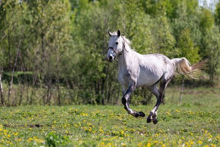 One white horse galloping on the pasture at summer Imagens