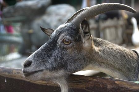 he goat: Portrait of he-goat.