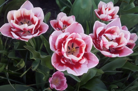 flowerbed: Group of beautiful tulips on flowerbed