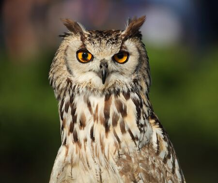 Portrait of eagle-owl. photo