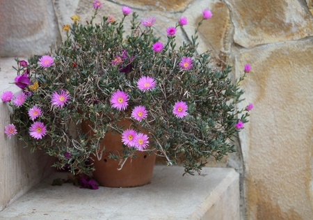 Bush of pink flowers in flowerpot on step of stairs  photo