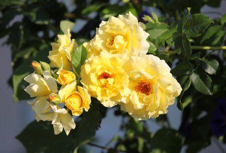 rambling: Branch of tea rose