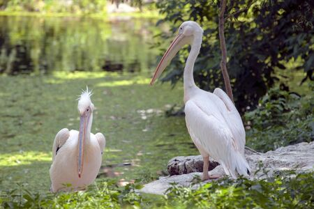 animal pouch: Pink Backed Pelicans couple  Stock Photo