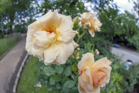 massif de fleurs: Buisson de roses sur parterre de fleurs dans le parc
