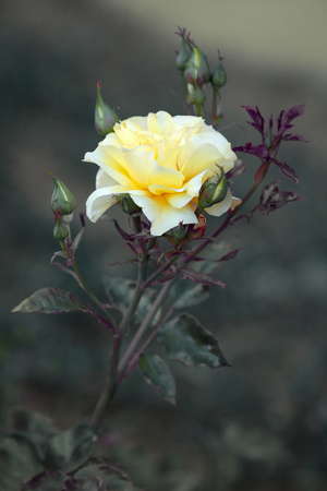 Single beautiful yellow rose in the garden  photo