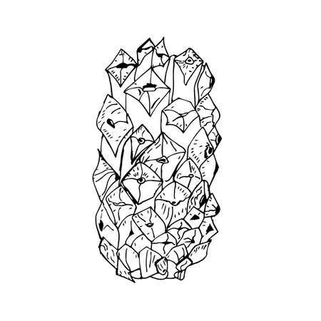 Christmas cone on a white background, sketch. tree seeds