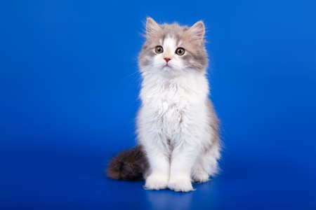 Tricolor Scottish purebred cat is sitting on blue background photo