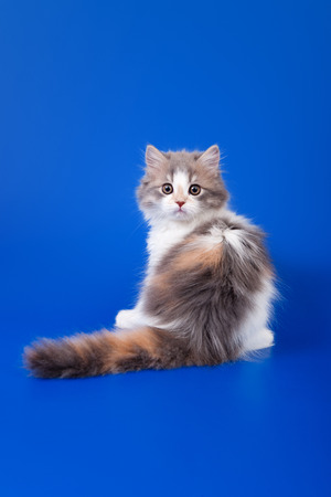 calico whiskers: Tricolor Scottish purebred cat is sitting on blue background
