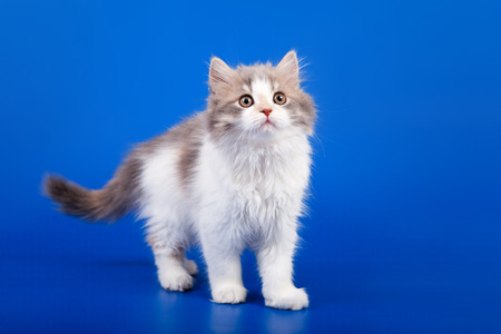 Tricolor Scottish purebred cat is standing on blue background photo