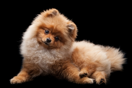 Light brown shpitz puppy lying over black background and looking at camera