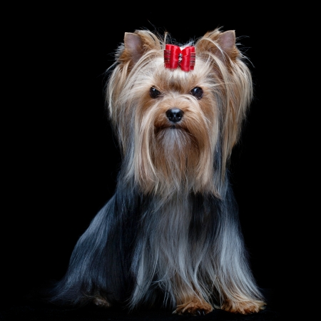 Yorkshire Terrier with red bow sitting over black background photo