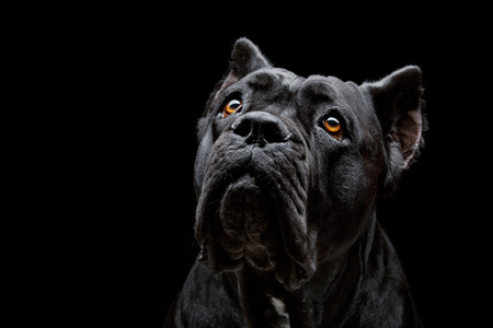 Closeup portrait of beautiful black Cane Corso female dog. Pure breed. Studio shot over black background. Copy space.