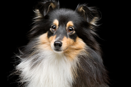 Closeup portrait of beautiful pure breeded tricolor Shetland Sheepdog. Over black background