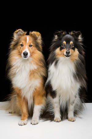 sheepdogs: Two beautiful Shetland sheepdogs sitting together white floor over black background