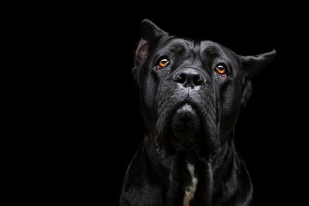 pure breed: Closeup portrait of beautiful black Cane Corso female dog. Pure breed. Studio shot over black background. Copy space.