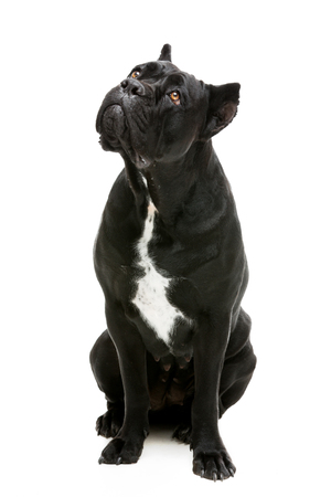 black bitch: Beautiful pure breeded black Cane Corso female dog expecting food. Sitting pose. Isolated over white background.