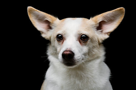 metis: Closeup portrait of beautiful white half-bred dog over black background Stock Photo