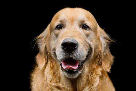 Closeup portrait of beautiful adult purebred labrador dog over black background