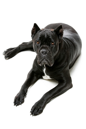 black bitch: Beautiful pure breeded black Cane Corso female dog lying on floor. Isolated over white background. Copy space Stock Photo