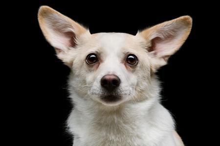 metis: Closeup portrait of beautiful white half-bred dog over black background Stock Photo