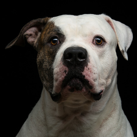 Closeup portrait of beautiful adult purebred american bulldog over black background