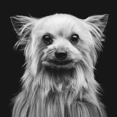 yorky: Closeup portrait of beautiful purebred yorkshire terrier over black background. Square shot Stock Photo
