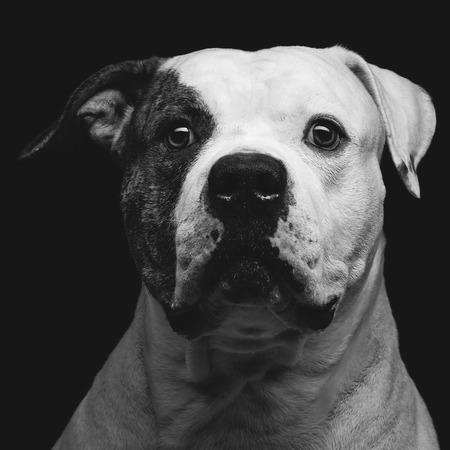 dogo: Primer retrato de la hermosa adulta pura raza bulldog americano sobre fondo negro