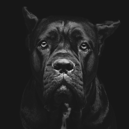 black eyes: Closeup portrait of beautiful black Cane Corso female dog. Pure breed. Studio shot over black background. Square composition. Stock Photo
