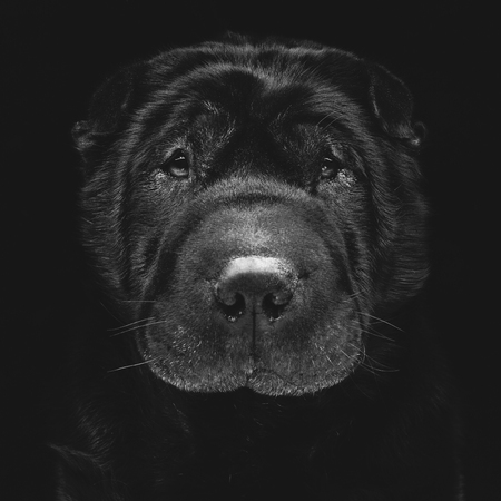 brown and black dog face: Closeup portrait of beautiful adult purebred shar pei over black background