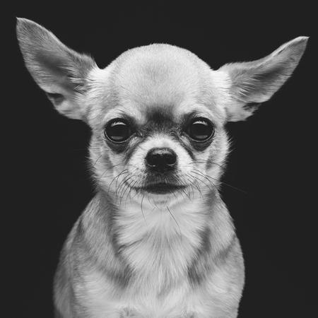cane chihuahua: Closeup portrait of beautiful purebred chihuahua dog over black background. Square Archivio Fotografico