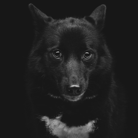 black eye: Closeup portrait of beautiful adult purebred laika dog over black background