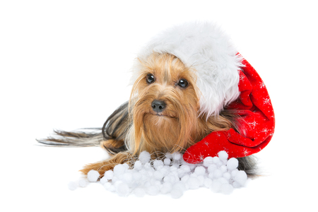 yorky: Beautiful yorkshire terrier dog in xmas hat lying. Isolated over white background. Copy space.