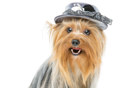 yorky: Portrait of beautiful yorkshire terrier dog in fancy grey hat. Isolated over white background. Copy space.