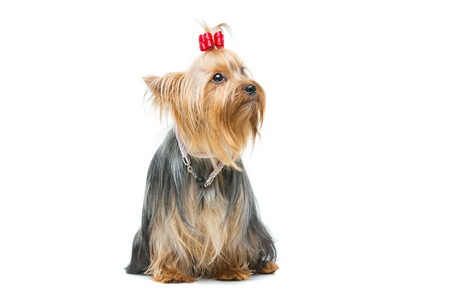 yorky: Beautiful yorkshire terrier dog with red bow and beads sitting, looking to the side. Isolated over white background. Copy space. Stock Photo